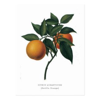 Citrus auranticum 'Seville Orange' Postcards