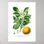 Citrus auranticum (Seville orange) Poster