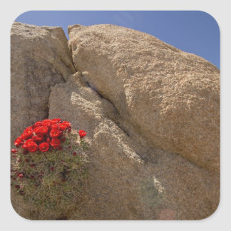 Claret cup or Mojave mound cactus in bloom Square Sticker