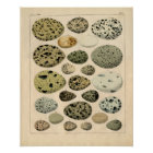 Classic Zoological Etching - Bird Eggs Poster