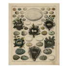 Classic Zoological Etching - Bird Nests & Eggs Poster