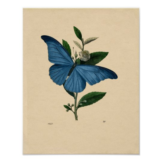 Classic Zoological Etching - Blue Butterfly Poster