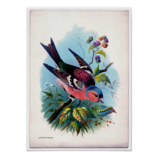 Classic Zoological Etching - Chaffinch Poster