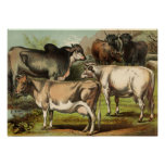 Classic Zoological Etching - Cows Poster