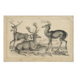 Classic Zoological Etching - Deer Poster