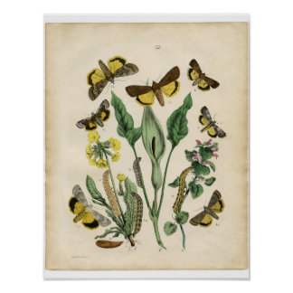 Classic Zoological Etching - Moths Poster