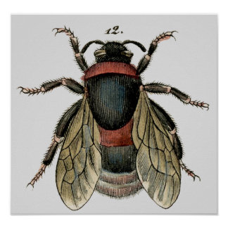 Classic Zoological Etching of a Bee Poster