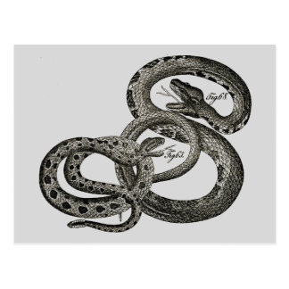 Classic Zoological Etching - Rattlesnakes Postcard