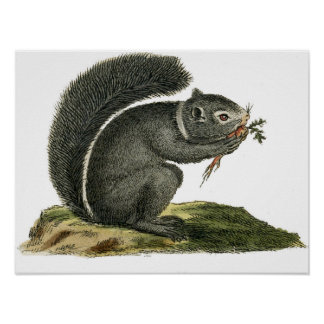 Classic Zoological Etching - Squirrel Poster