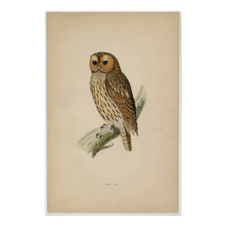 Classic Zoological Etching - Tawny Owl Poster