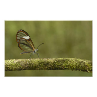 Clear-winged Butterfly Hyalurga sp ?) Cloud Photo Print