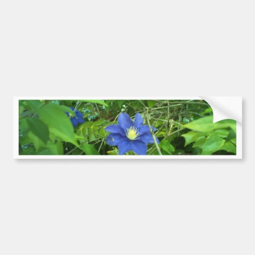 clematis flower purple bumper stickers