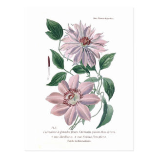 Clematis patens postcard