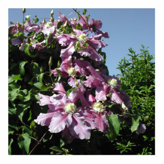 Clematis. Pink Flowers, and blue sky. Photo Cutout