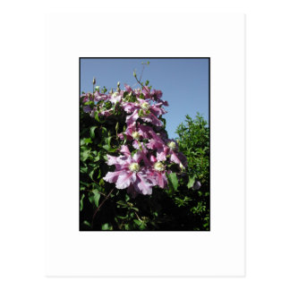 Clematis. Pink Flowers, and blue sky. Postcard