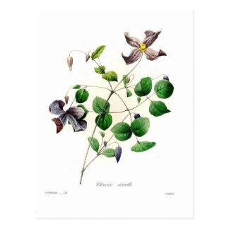 Clematis viticella postcard