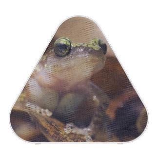 Cliff Chirping Frog, Eleutherodactylus