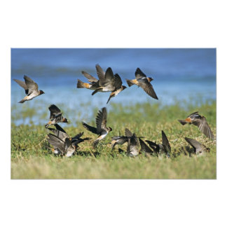 Cliff Swallow, Hirundo pyrrhoa, Mixed flock Photo Art
