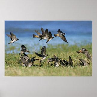 Cliff Swallow, Hirundo pyrrhoa, Mixed flock Poster