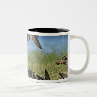 Cliff Swallow, Hirundo pyrrhoa, Mixed flock Two-Tone Coffee Mug