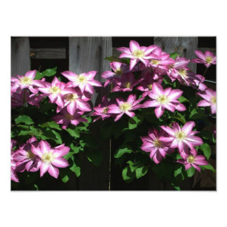 Climbing Clematis Purple and White Flowers Photo Print