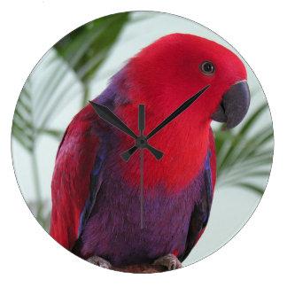 Clock beautiful Eclectus parrot red female pet