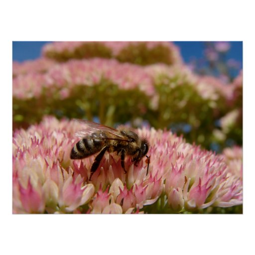 Close Up Bee on Pink Flowers Posters