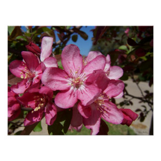 Close up Crab Apple Blossom Poster