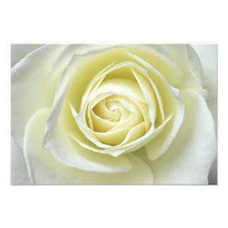 Close up details of white rose photo print
