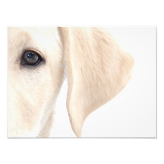 Close-up Half Face of Yellow Labrador Photo Art
