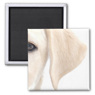 Close-up Half Face of Yellow Labrador Square Magnet