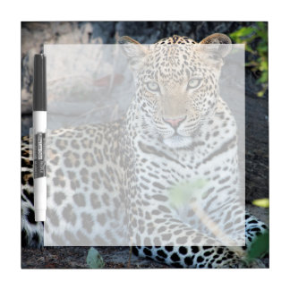 Close up leopard portrait sitting dry erase boards