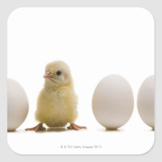 Close-up of a baby chick with three eggs square stickers