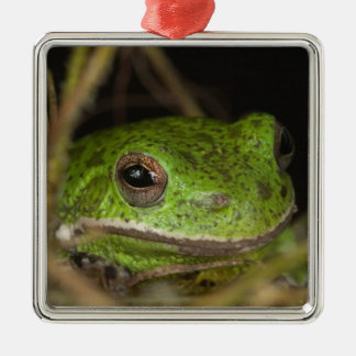 Close-up of a Barking treefrog on limb resting Christmas Ornament