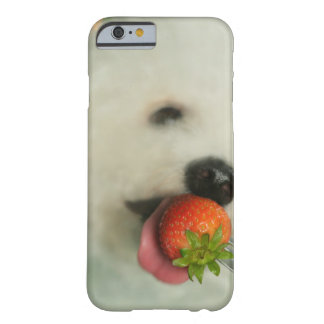 Close-up of a Bichon Frise eating a strawberry Barely There iPhone 6 Case