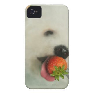 Close-up of a Bichon Frise eating a strawberry iPhone 4 Case-Mate Cases
