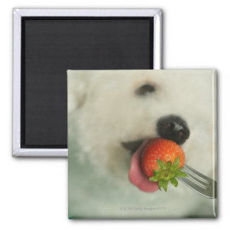 Close-up of a Bichon Frise eating a strawberry Square Magnet