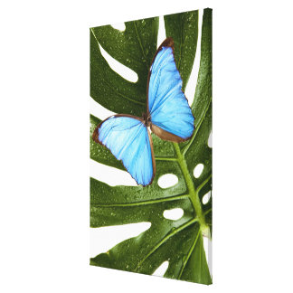 Close up of a Blue Morpho Butterfly on a palm Canvas Print