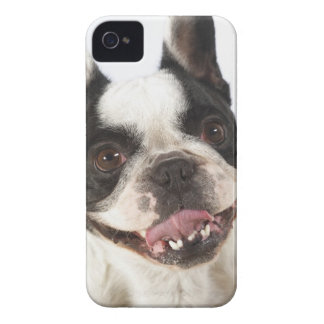 Close-up of a Boston Terrier sticking out its iPhone 4 Case