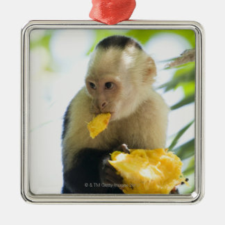 Close-up of a capuchin monkey eating a fruit christmas ornament