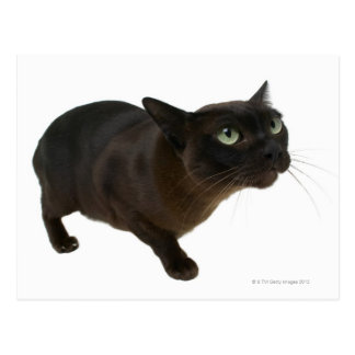 Close-up of a cat 2 postcard