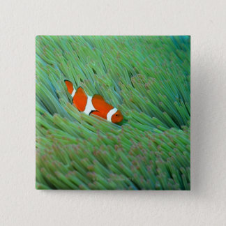 Close up of a clown anemone fish, Okinawa, Japan 15 Cm Square Badge
