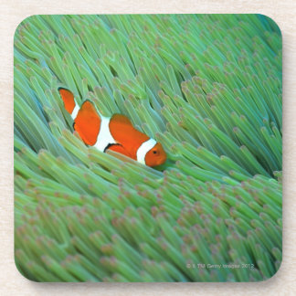 Close up of a clown anemone fish, Okinawa, Japan Coaster