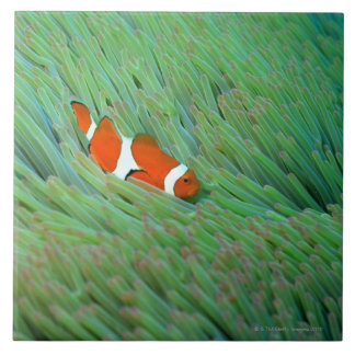 Close up of a clown anemone fish, Okinawa, Japan Tile