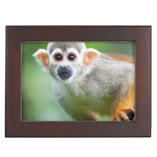 Close-up of a Common Squirrel Monkey Memory Boxes