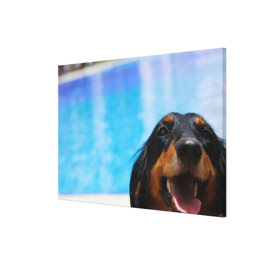 Close-up of a Dachshund dog panting Canvas Print