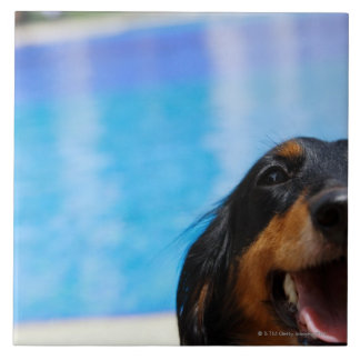 Close-up of a Dachshund dog panting Tile