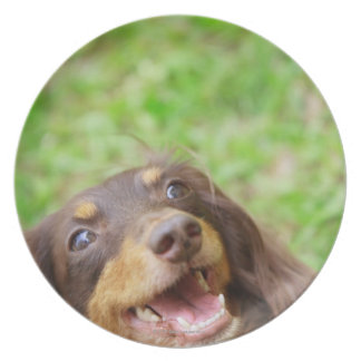 Close-up of a Dachshund dog Plate