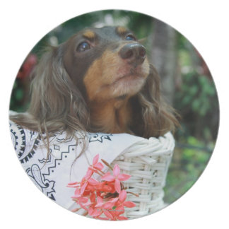 Close-up of a Dachshund dog sitting in a basket Plate
