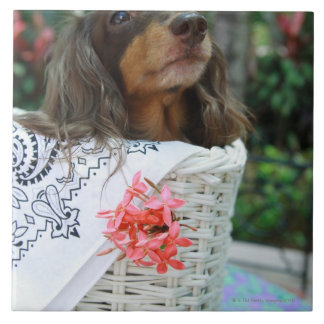 Close-up of a Dachshund dog sitting in a basket Tile